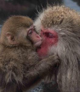 Snow Monkey and babyuntitled-1